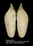 Barnea similis