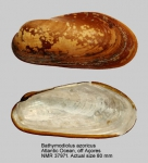 Bathymodiolus azoricus