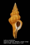 Benimakia fastigium