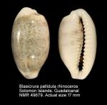 Blasicrura pallidula rhinoceros