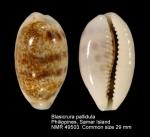 Blasicrura pallidula