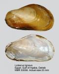 Lioberus ligneus