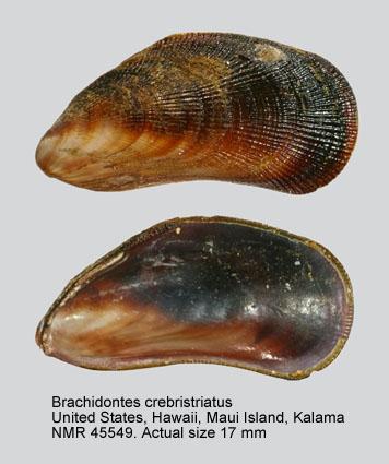 Brachidontes crebristriatus