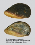 Brachidontes domingensis