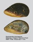 Brachidontes domingensis