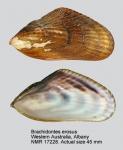 Brachidontes erosus