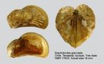 Brachidontes granulatus