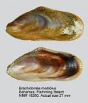 Brachidontes modiolus