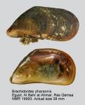 Brachidontes pharaonis