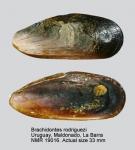 Brachidontes rodriguezii
