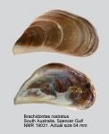Brachidontes rostratus