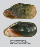 Brachidontes semilaevis