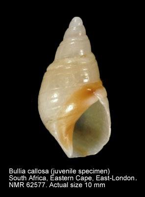 Bullia callosa