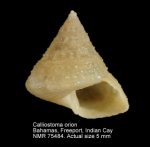 Calliostoma orion
