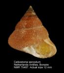 Calliostoma sarcodum