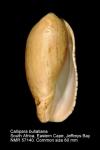 Callipara bullatiana