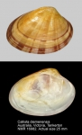 Callista diemenensis
