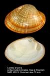 Callista erycina