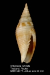 Cancilla rufilirata