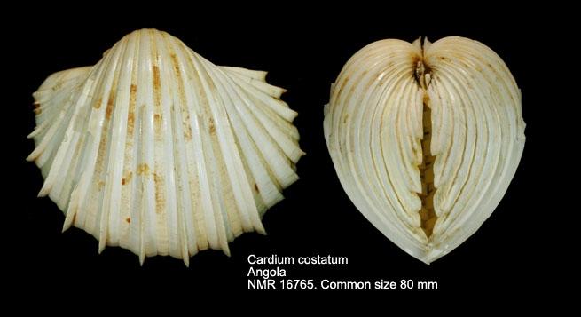 Cardium costatum