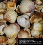 Cardiidae
