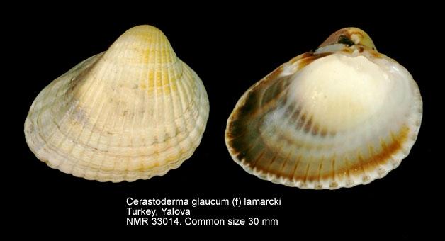Cerastoderma glaucum