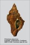 Chicoreus capucinus