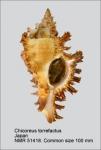 Chicoreus torrefactus