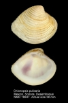 Chionopsis pulicaria