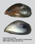 Choromytilus chorus