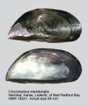 Choromytilus meridionalis