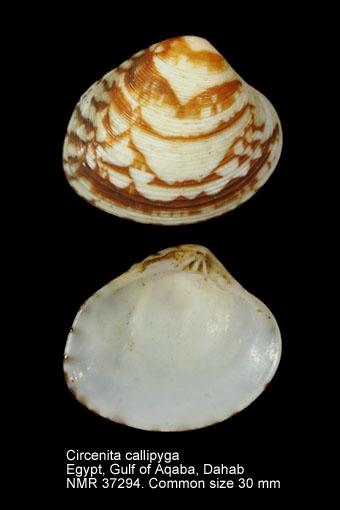 Circenita callipyga