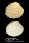Circomphalus yatei