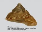 Clanculus brunneus