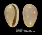 Closia giadae