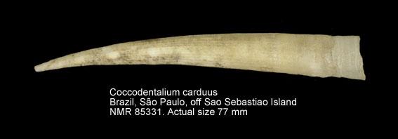 Coccodentalium carduus
