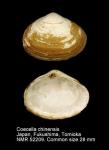 Coecella chinensis