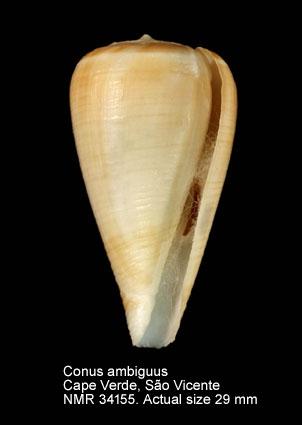 Conus ambiguus