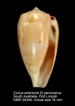 Conus anemone