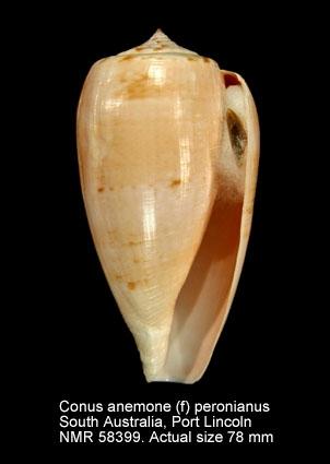 Conus anemone