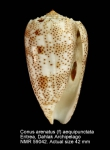 Conus arenatus