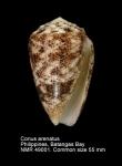Conus arenatus