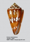 Conus argillaceus