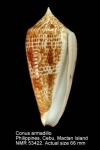 Conus armadillo