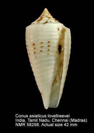 Conus asiaticus lovellreevei