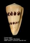 Conus augur