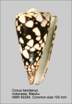 Conus bandanus