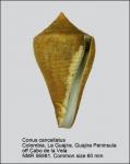 Conus cancellatus