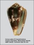 Conus catus