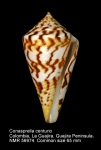 Conus centurio
